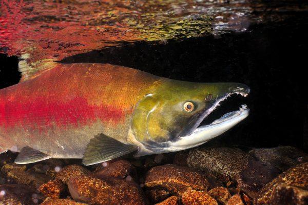 a close up of a sockeye salmon