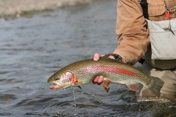 Alaska Rainbow Trout - caught and released on the Kanektok River.