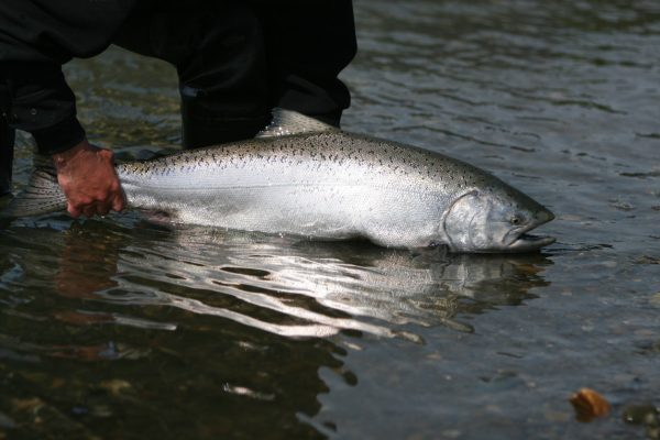 Releasing a King Salmon caught on a fly in Alaska.