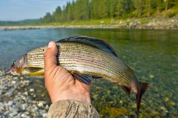 Fishing trophy - Siberian grayling. Wild freshwater fish in the Polar Urals.